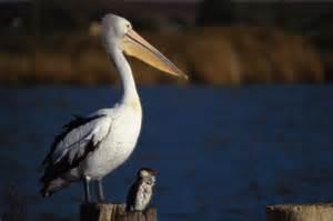 Le Pelican - Gaspésie, Matane